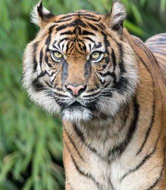 tiger-2152747_1280